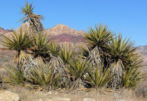 Yuca Mojave yuca