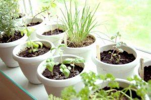 Ciltivo de plantas curativas